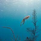 Caribean Reef Squid by Paul Lenharr II