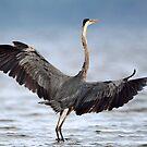 Blue On Blue Wingspan / Great Blue Heron by Gary Fairhead