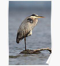 Full Frame / Great Blue Heron Poster