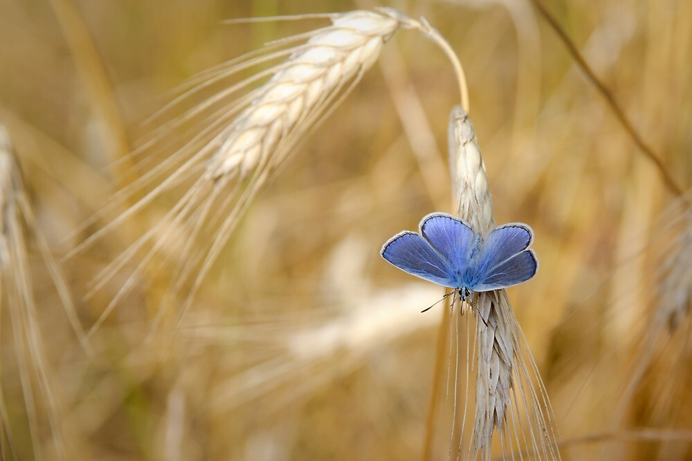 Quot Blue Butterfly In Wheat Field Quot By Laurent Aphecetche
