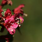Weigela with Bee by shane22