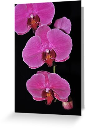 ORCHID 1086  (GREETING CARD ONLY) by Thomas Barker-Detwiler