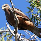 ''Black Kite'' by bowenite