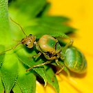 Study of Green Ant #5 by Mukesh Srivastava