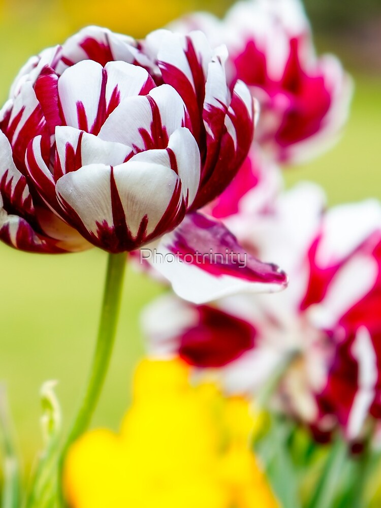 The Glorious Showman of the Flower World - The Tulip by Phototrinity