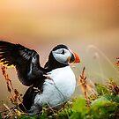 Papageientaucher in Island winken von marinaweishaupt