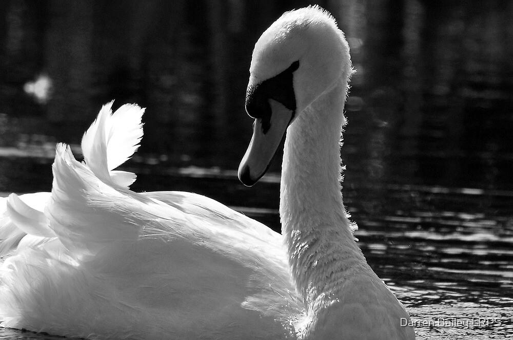 Swan beauty by Darren Bailey LRPS