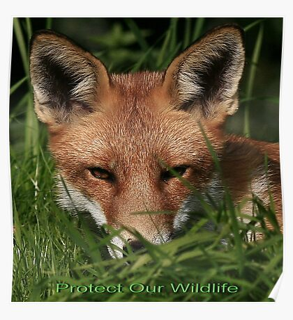 Cards - Protect Our Wildlife / Red Fox - None Captive Poster