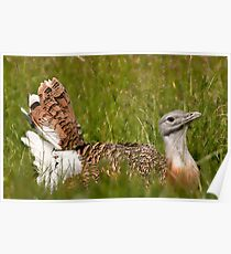 Great Bustard Poster