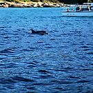 dolphin. evening. tasmania.   by tim buckley | bodhiimages