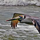 Brown Pelican in flight by Brian Tarr