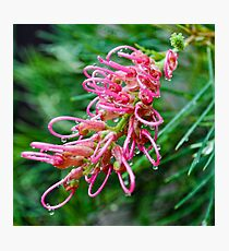pink grevillea Photographic Print