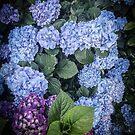 «Hortensias» de ampphotography