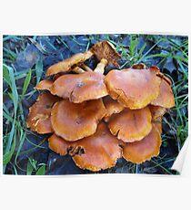 Les champignons Poster