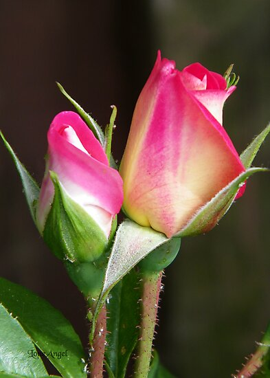 Two Rose Buds by LoneAngel