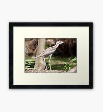 Bush Curlew Framed Print