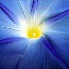 Colors of Nature - Blue Morning Glory by dawiz1753