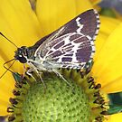 Moth on a daisy by dawiz1753