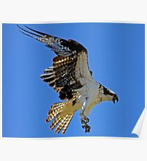 Screaming Osprey Coming In  Poster