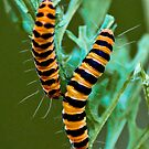 Cinnabar moth caterpillar by Ben Porter