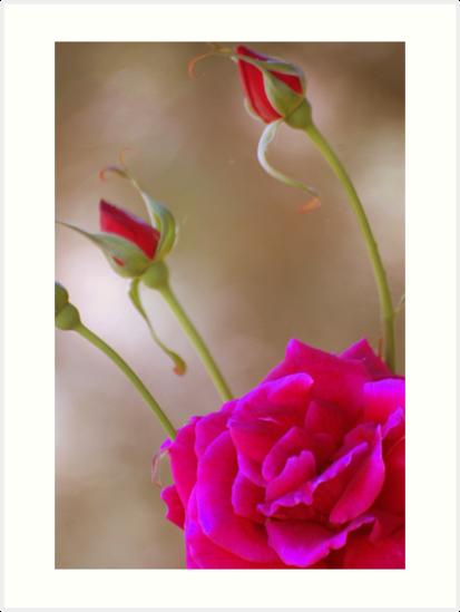 Rose & Buds by MrJohnny68