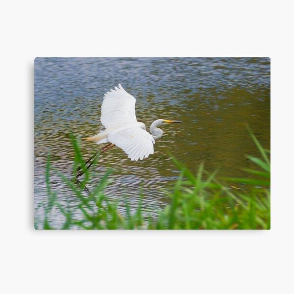 Great Eastern Egret Skimming Canvas Print