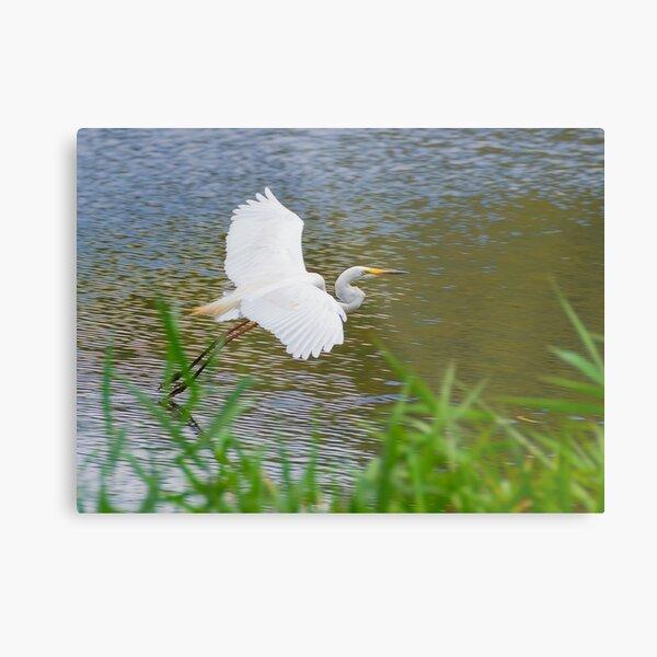 Great Eastern Egret Skimming Metal Print