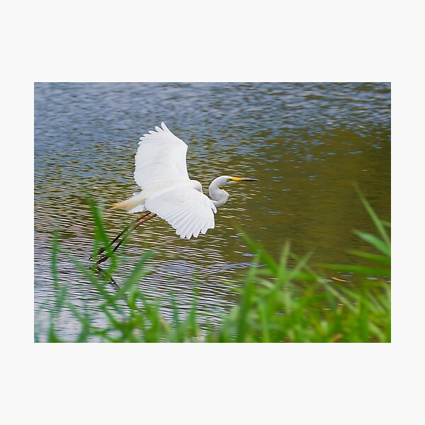Great Eastern Egret Skimming Photographic Print