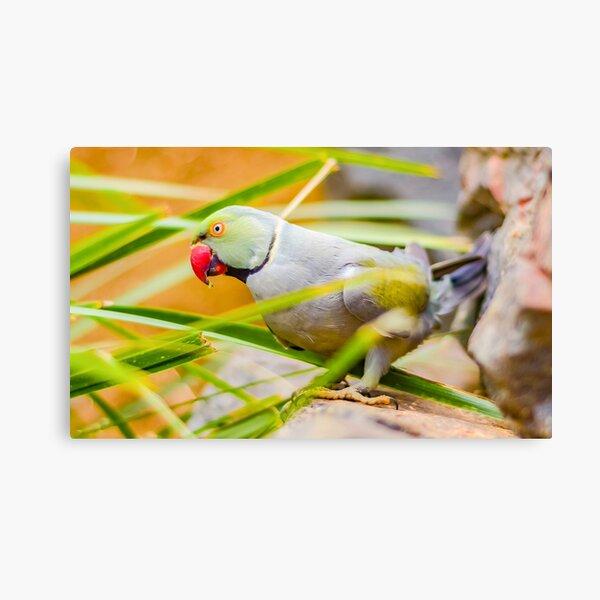 Indian Ringneck Parakeet Canvas Print