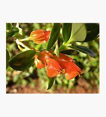 Goldfish Plant Photographic Print