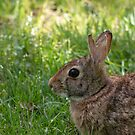 Eastern cottontail by pietrofoto