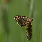 Spotted fritilllary by pietrofoto
