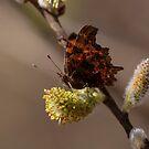 Comma butterfly by pietrofoto