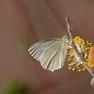 Cabbage butterfly by pietrofoto