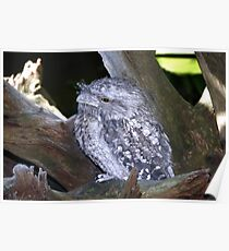 Frogmouth Poster