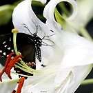 Black Swallowtail Butterfly on a Tiger Lily by Dennis Cheeseman