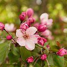 Pink apple buds by Svetlana Korneliuk