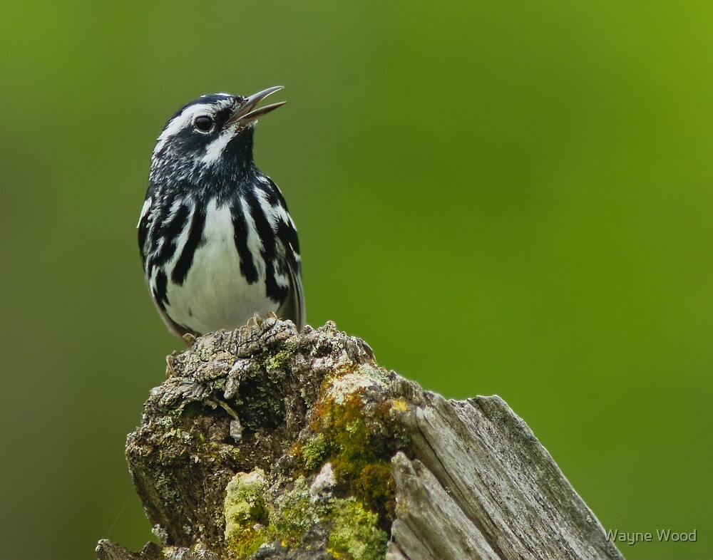 Black and White Warbler by Wayne Wood