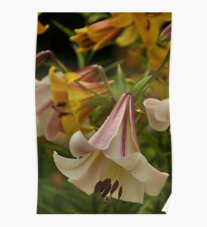 "Trumpet Lily ""Easter Morn"" Poster"