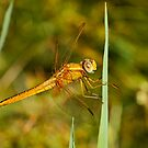 Immature Male Scarlet Darter by Robert Abraham