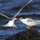 Contact / Common Tern Feeding Young by Gary Fairhead