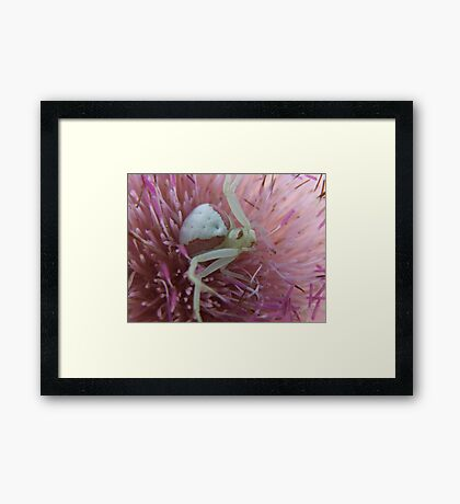 Crab Spider in A  Nodding Plumeless -Thistle Framed Print