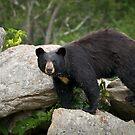 American Black Bear in Blue Ridge Mountains by Dave Allen