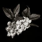A monochrome Flower World : Plum Blossom by PhotomasWorld