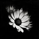 A monochrome Flower World : Spanish Daisy by PhotomasWorld