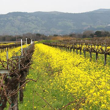 Napa Valley Grape Vineyard  by Misawalk