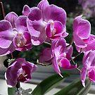 Orchidee - Lila von agnessa38