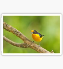 violaceous euphonia Sticker