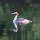 Great crested grebe by pietrofoto