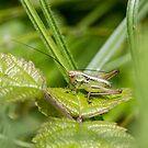 small grasshopper by pietrofoto